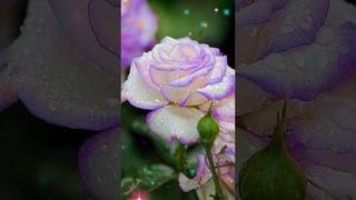 Смотри, какая красота! Необычные розы!