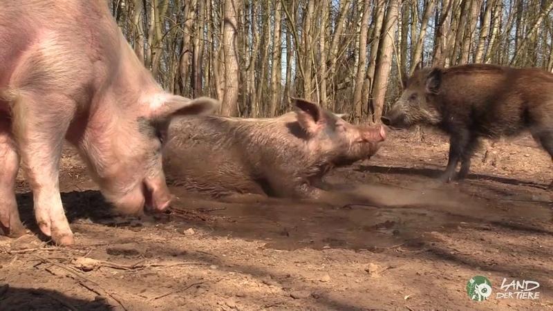 Schweinedusche für Helge Resi Gerettete Schweine im Land der Tiere
