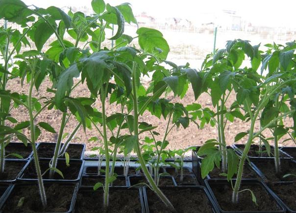 Что делать , чтоб рассада томатов не вытягивалась Томат теплолюбивое и светолюбивое растение.Однако они устойчивы к резким колебаниям и длительному снижению температуры. Чтобы сеянцы не