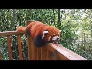 Sweet Adorable Red Panda Will Your Day Better ❤️