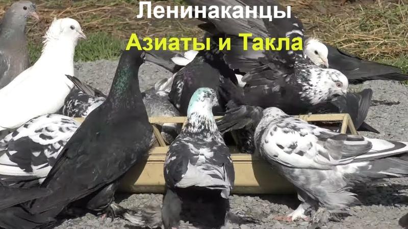 20 03 20 Голуби Азиаты Ленинаканцы и Такла Pigeons Asians Leninakans and Takla