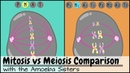 Mitosis vs Meiosis Side by Side Comparison