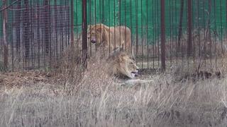 Сладкие потягушки от льва Руслана, а лев Витя не отходит от своей дамы! Тайган. Декабрь 2020.