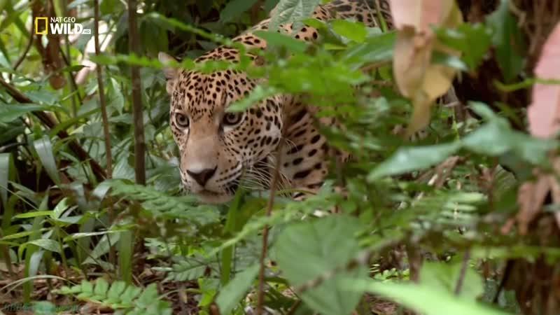 Бойцовский клуб для животных 16 Кошачья битва Познавательный природа 2015