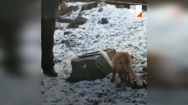 В Асбесте голодная лисица ходит к людям за едой
