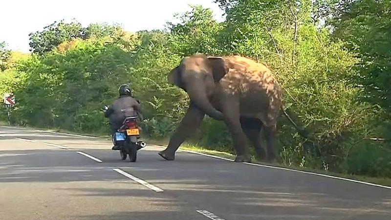 Слон вымогатель Шри Ланка