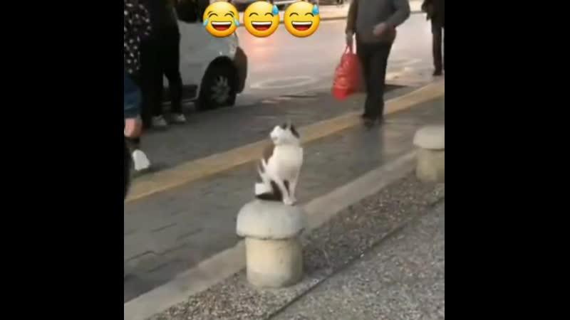 Кот задира